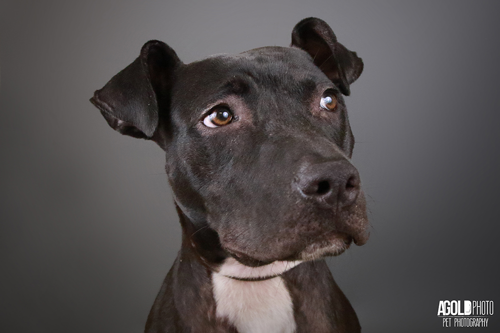 10 Adoptable Pit Bulls from Humane Society Naples