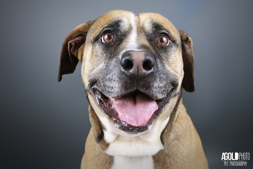 25 Adoptable Pit Bulls in West Palm Beach