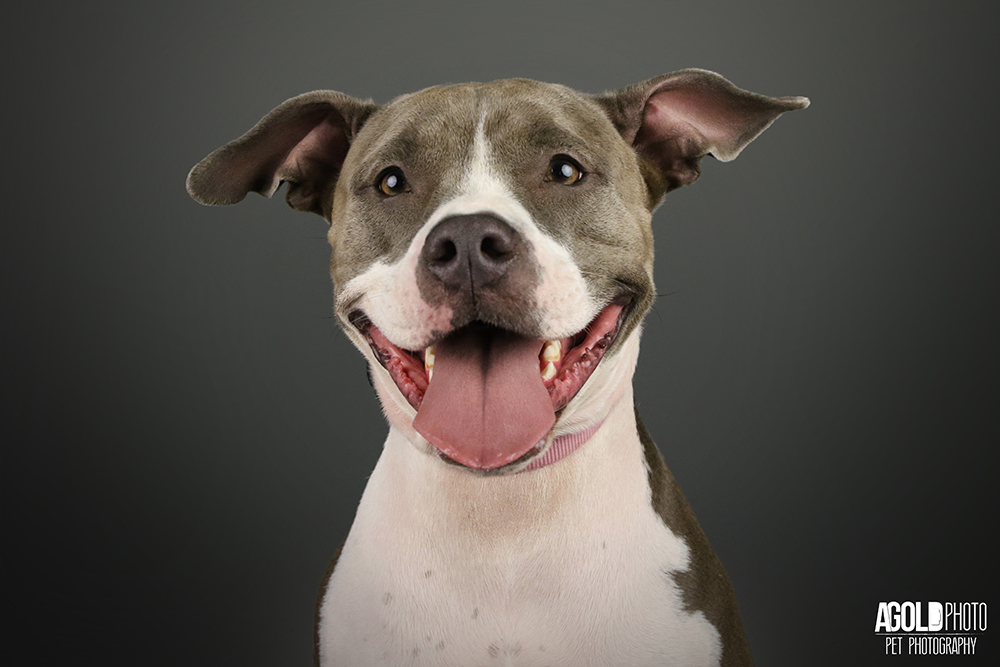 Annabelle, a Certified Therapy Pit Bull is Guaranteed to make you smile