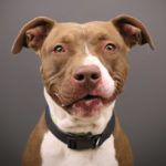 16 Pit Bulls Available for Adoption | Pit Bull Picture Project