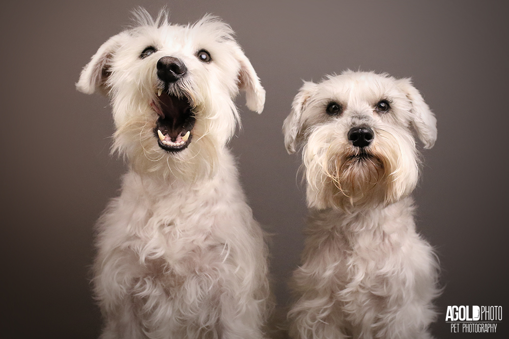 Schnauzer Siblings Nail Their Pet Photo Shoot
