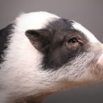 Petunia, a Therapy Mini Pig in Training, is Looking for a New Home