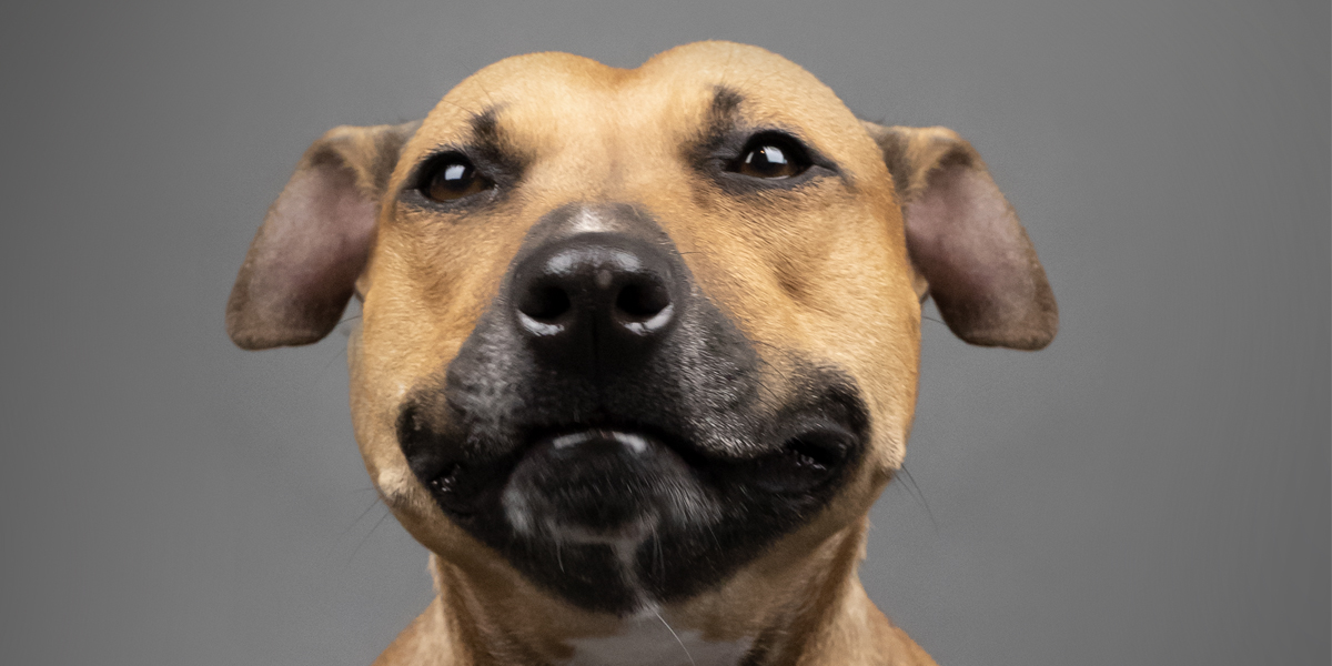 Pit Bull Rescued from Canadian Dog Fighting Now Available for Adoption