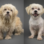 """Before & After"" Grooming Photos of 10 Rescued Havanese Pups"