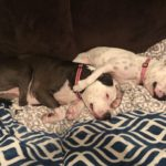Rescued Pit Bull is Addicted to Cuddling